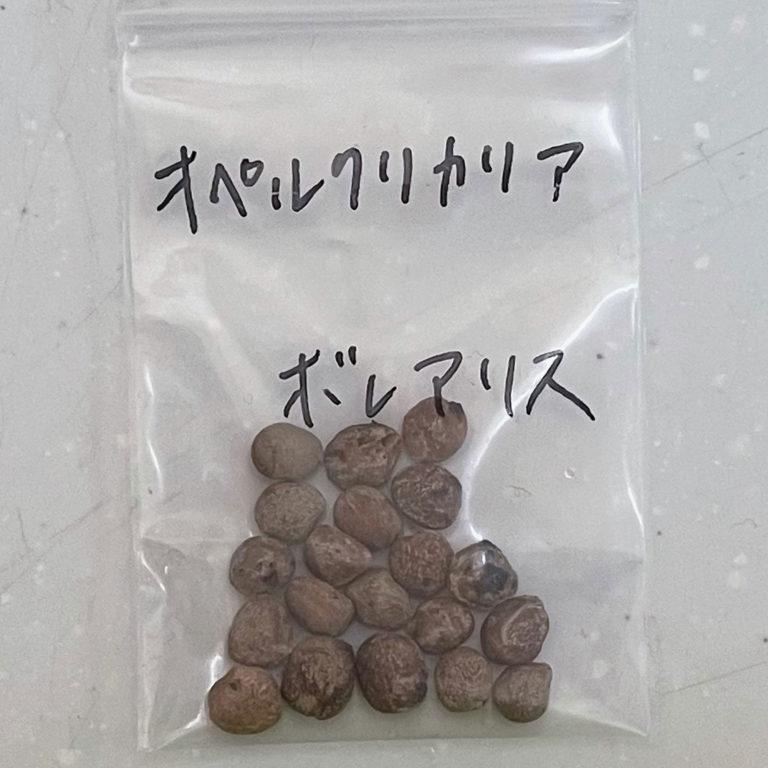 オペルクリカリアボレアリス種