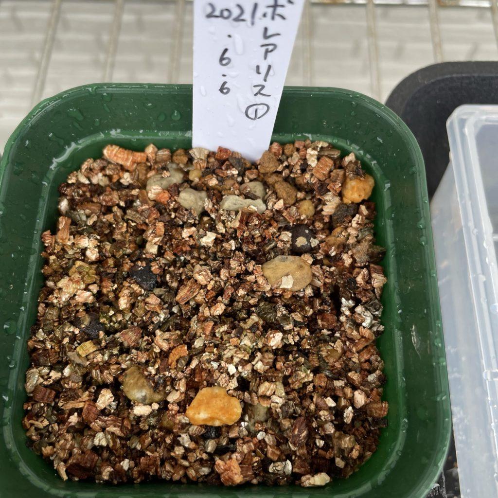 オペルクリカリア属ボレアリス